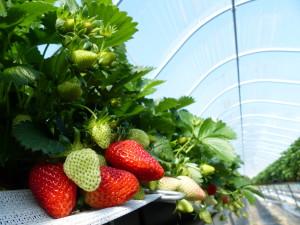 Erdbeeren reif nah