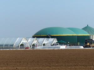 Erdbeeren und Biogas 3