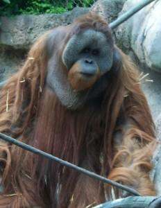 OrangutanP1