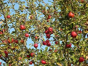 Äpfel in Wöllstadt