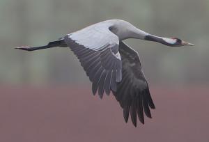 Flickr_-_Rainbirder_-_Eurasian_Crane_(Grus_grus)_(cropped)